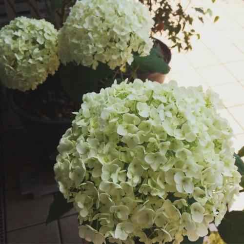 じめじめしてますが、ベランダの花はきれいです