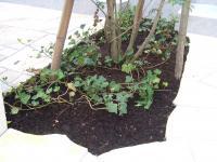 シマトネリコの下草はアイビー