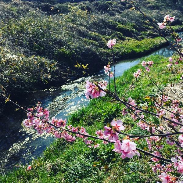 麻機の河津桜