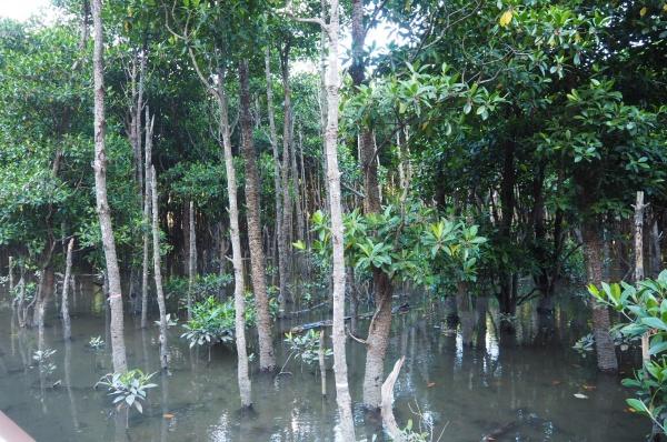 マングローブ。水の中から木々が生えています。