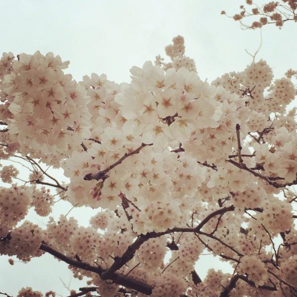 日本平ホテル庭の桜