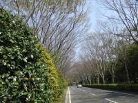 県立美術館へ続く欅の道