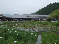加茂花菖蒲園1