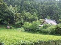 加茂荘屋敷内の茶園