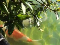暖かい陽射しの木の下に紅い鯉