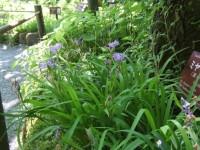 箱根の湿生花園の半日陰で咲いている可憐なヒメシャガ