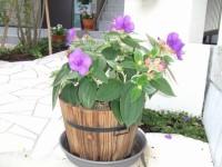 大好きな紫紺ノボタンが玄関先で咲いています。