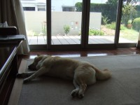 暑いのでもみじは昼間もクーラーの下にいることが多い