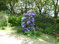 庭に種々のクレマチス
