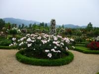 河津パガテル公園の薔薇2