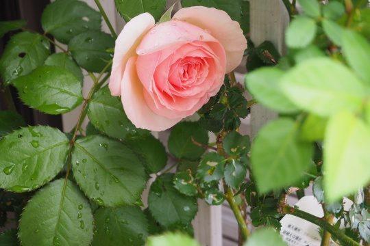 ピエール・ドゥ・ロンサールは咲き出しています